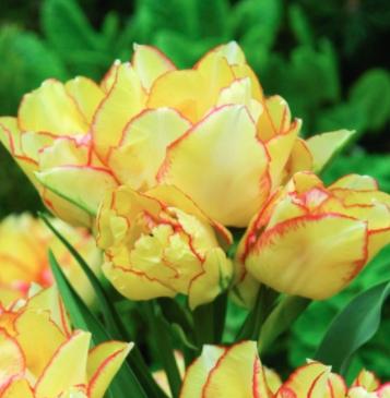 Aquilla Tulips