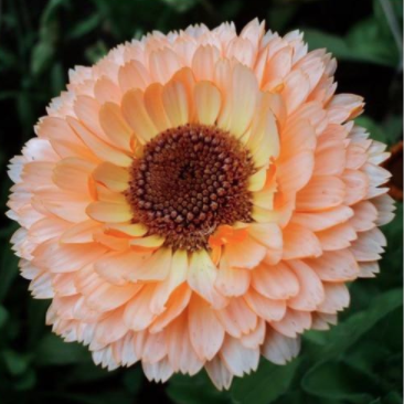 Calendula - Many Varieties