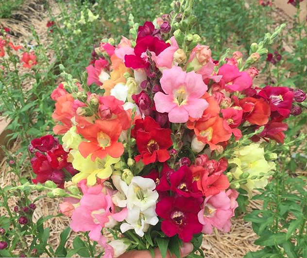 Chantilly Snapdragon Mix