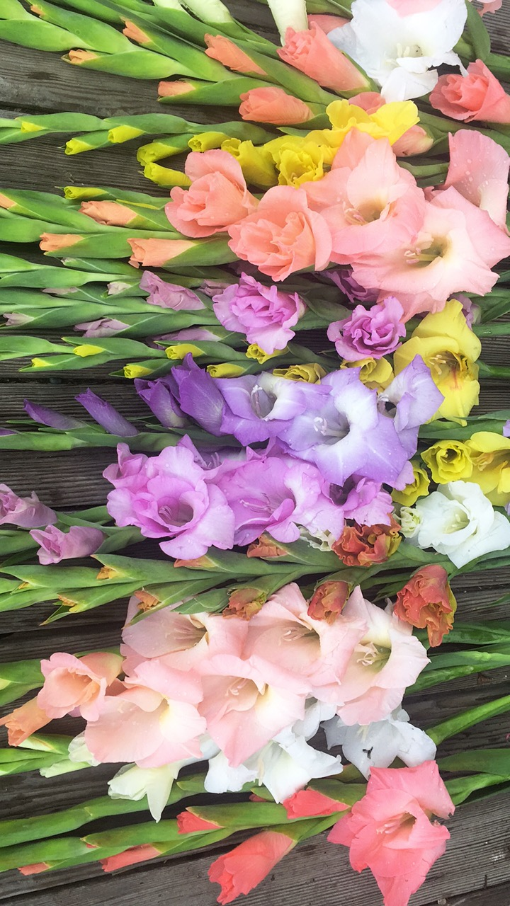 Gladiolas - Variety of Colors
