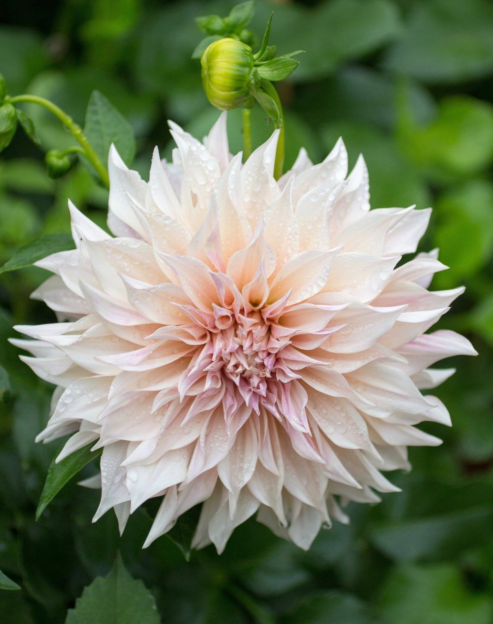 Dahlias - Many Varieties