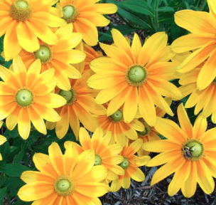 Rudbeckia - Many Varieties