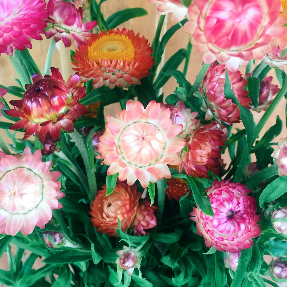 Strawflower