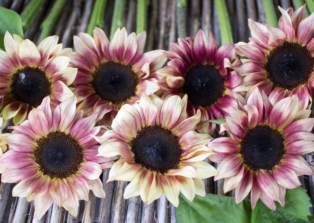 Sunflowers - Variety of Colors