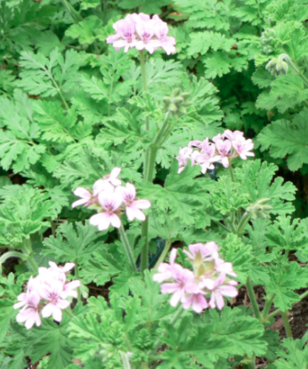 Rose Scented Geraniums