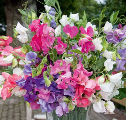 Sweet Peas - Variety of Colors