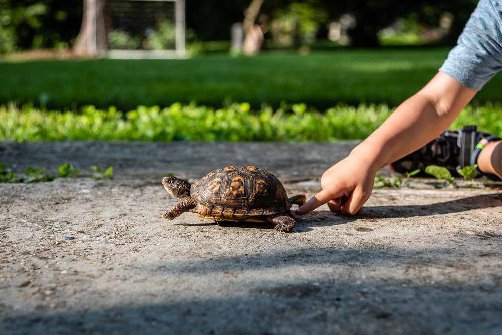 Boy touching Eastern box turtle in Northern Virginia by Nicole Sanchez Photographer
