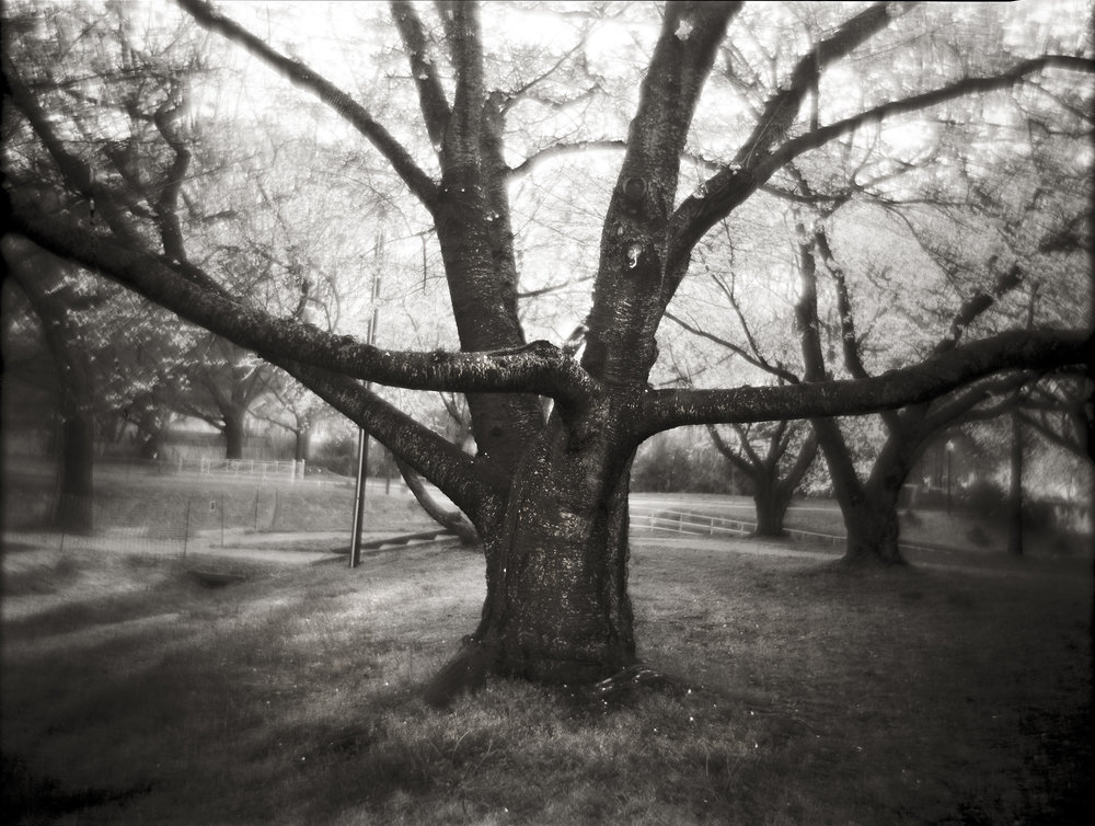 OLD CHERRY TREE