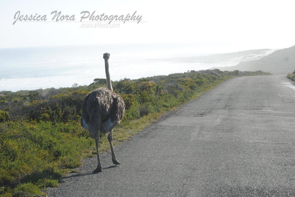 OstrichWM01.jpg