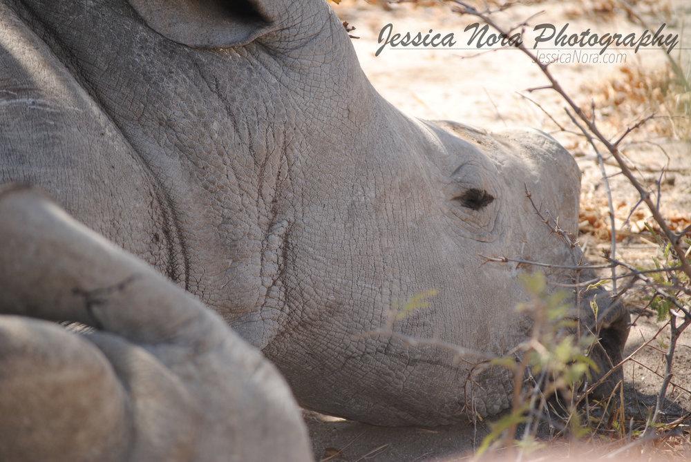 RhinoWM01.jpg