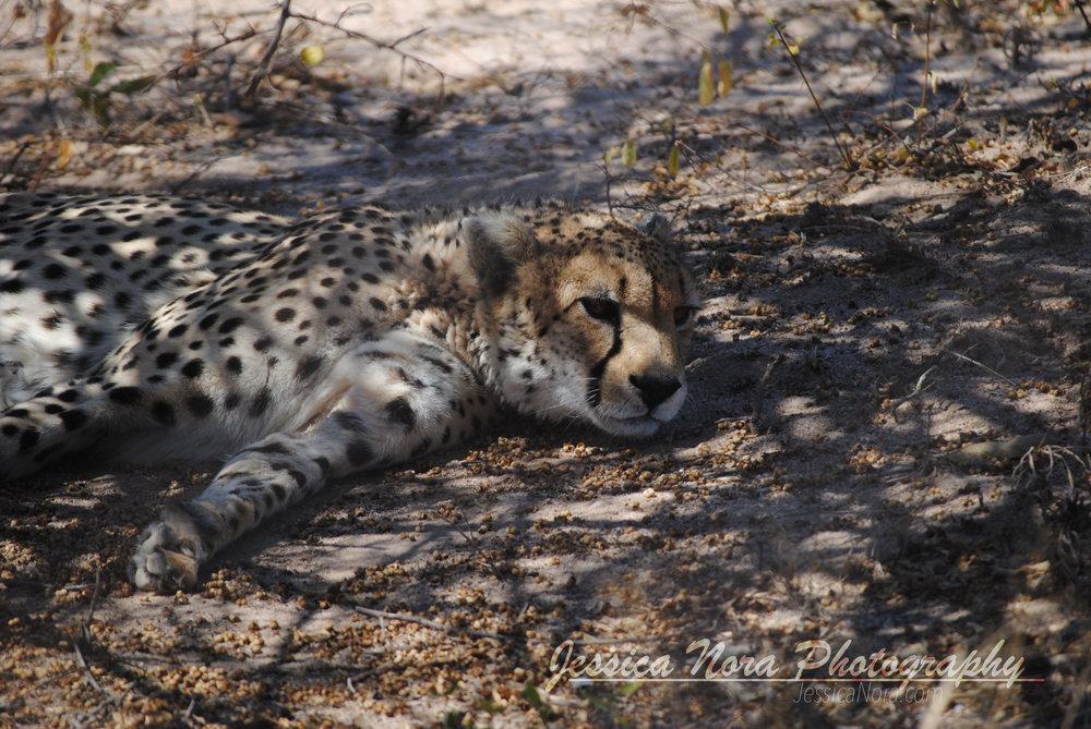 CheetahWM10.jpg