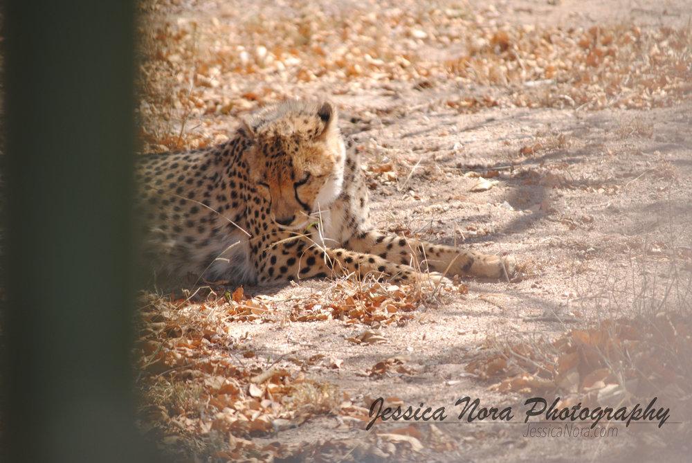 CheetahWM08.jpg