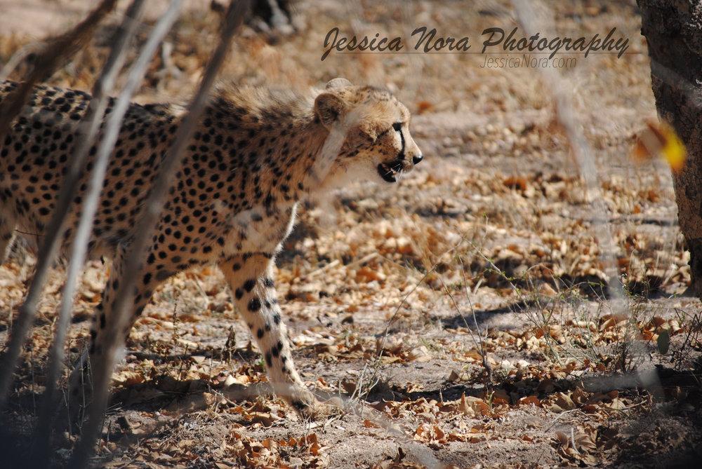 CheetahWM07.jpg