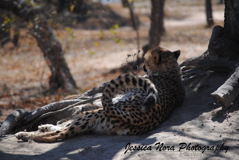 CheetahWM06.jpg