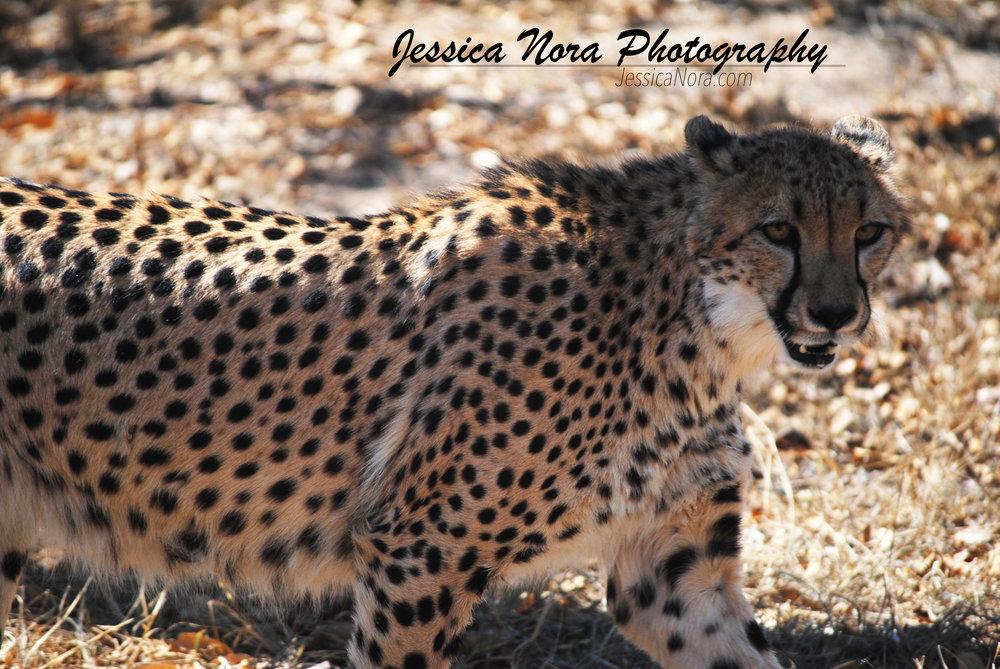CheetahWM02.jpg