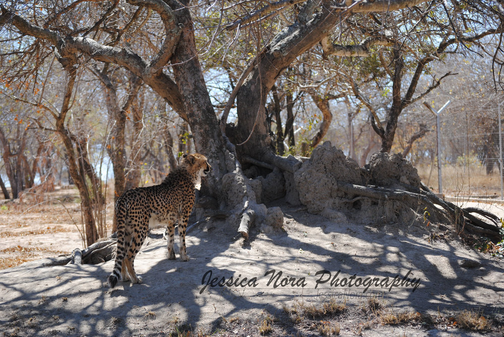 CheetahWM04.jpg