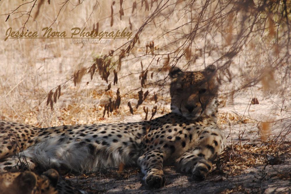 CheetahWM11.jpg