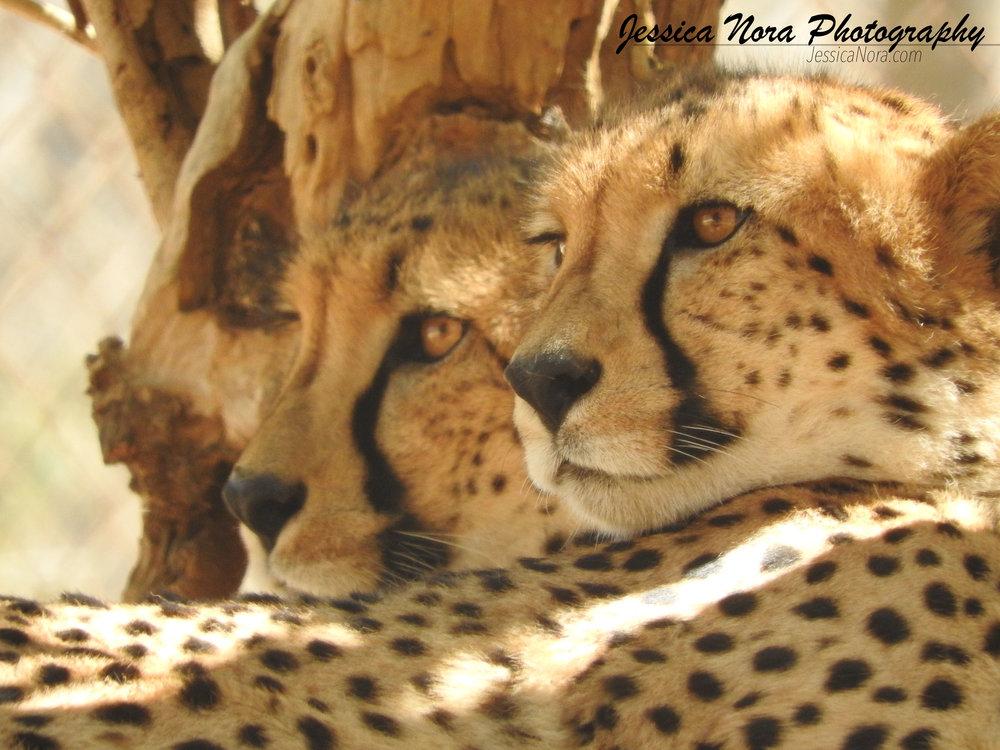 CheetahWM12.jpg