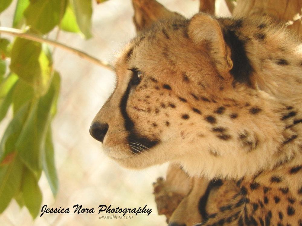 CheetahWM13.jpg