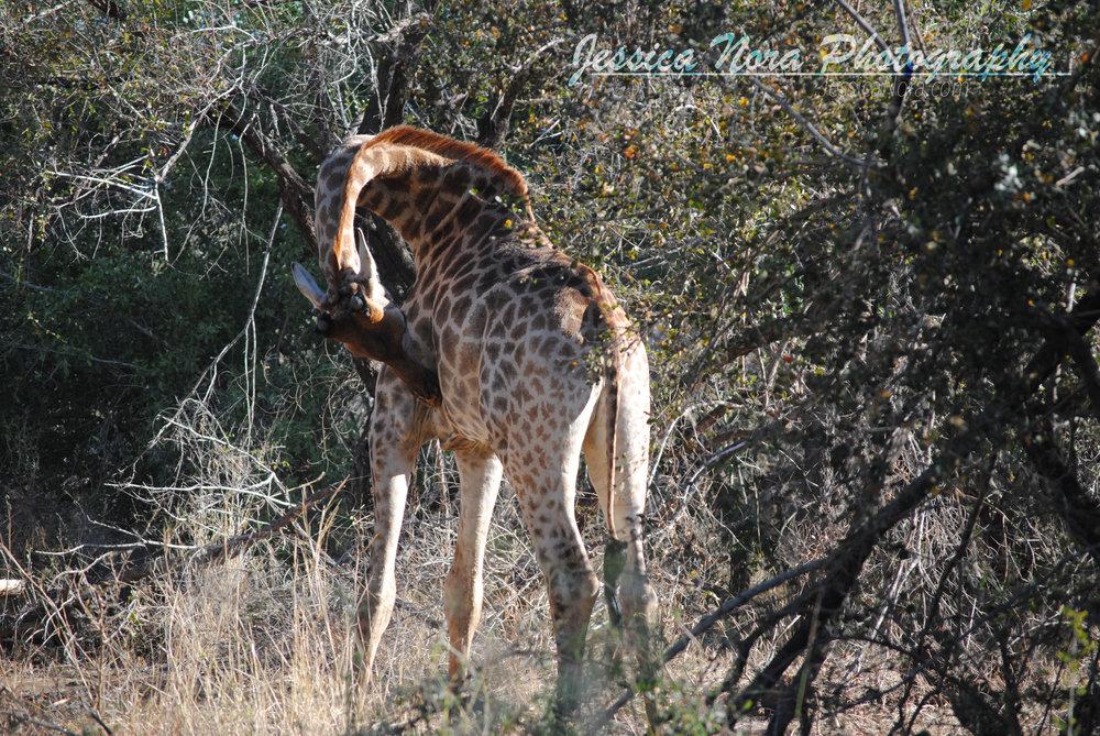 GiraffeWM01.jpg