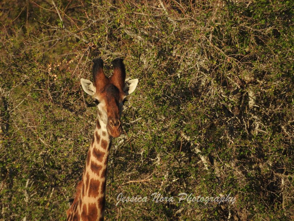 GiraffeWM02.jpg