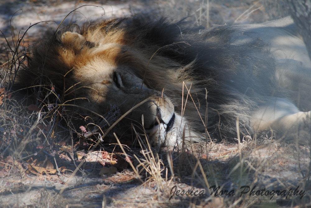LionWM02.jpg