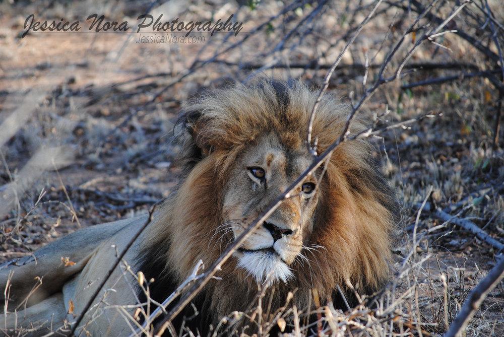 LionWM04.jpg