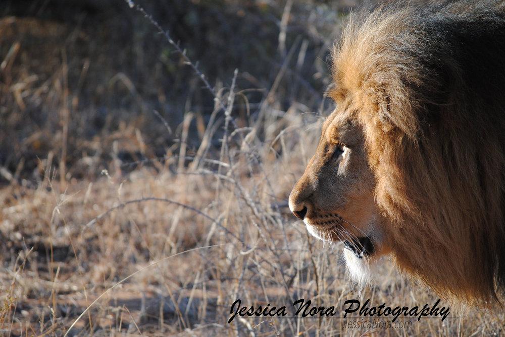 LionWM05.jpg