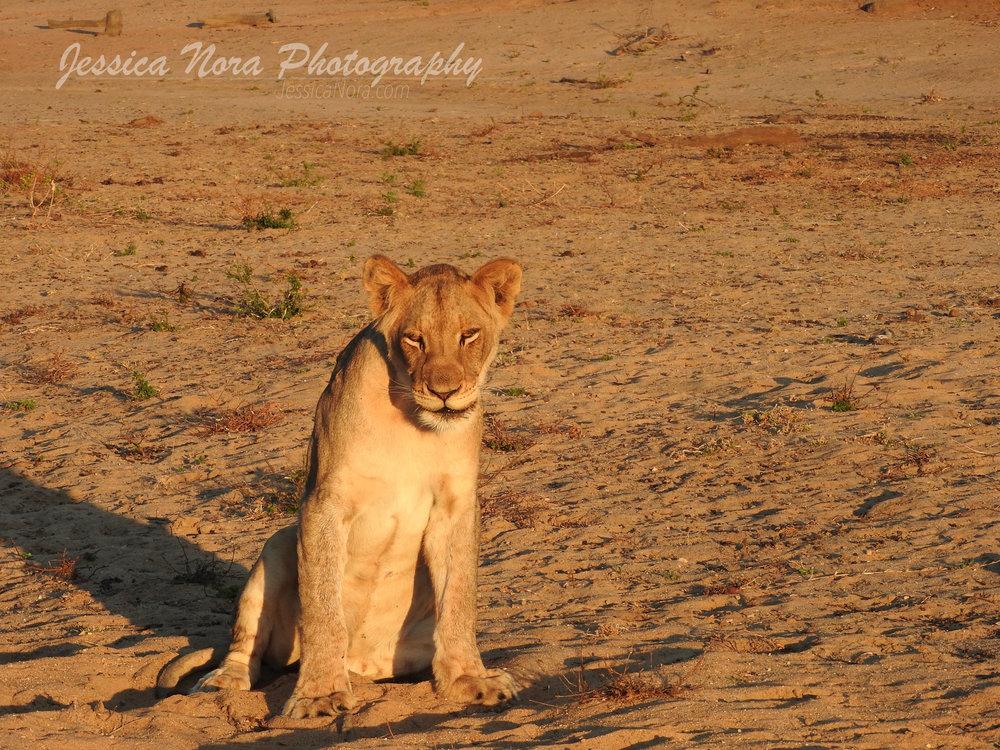LionWM07.jpg