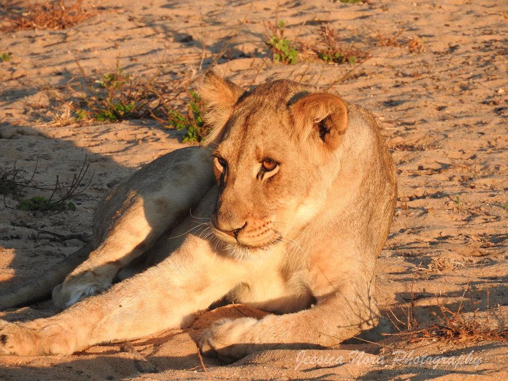LionWM08.jpg