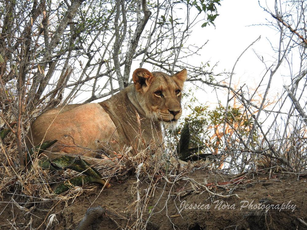 LionWM11.jpg