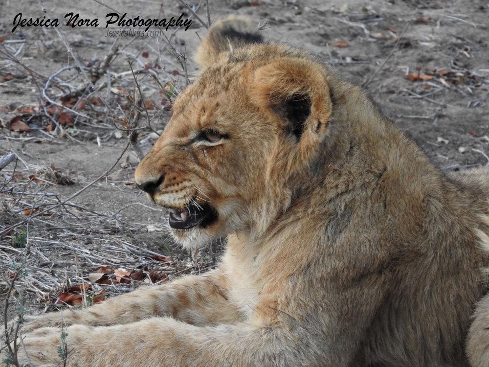 LionWM12.jpg