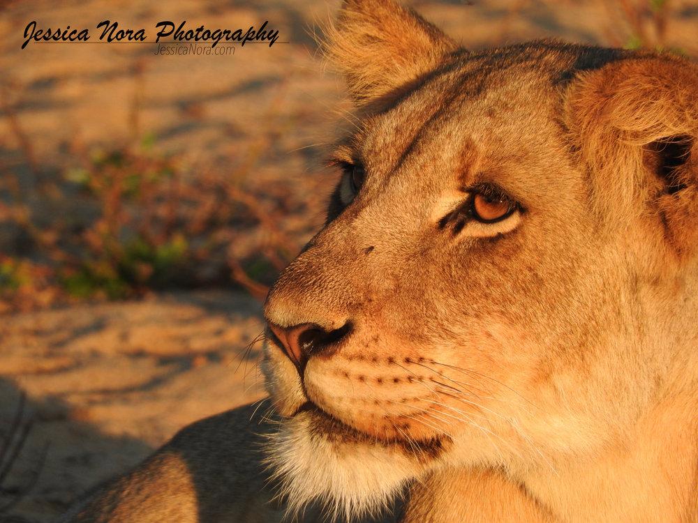 LionWM10.jpg