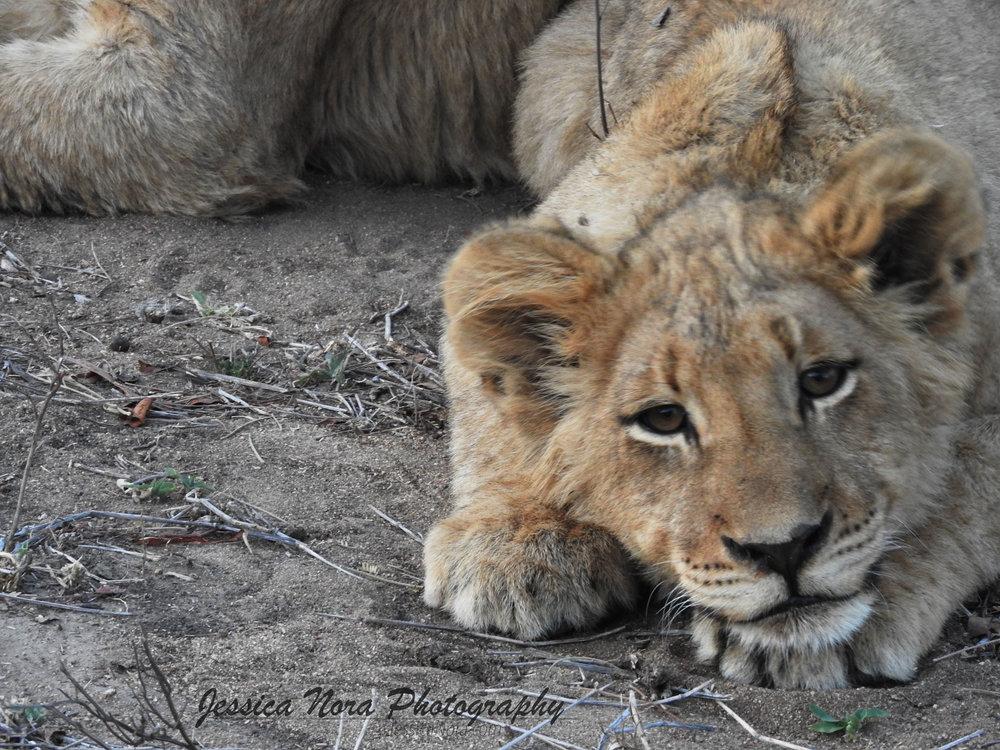 LionWM13.jpg