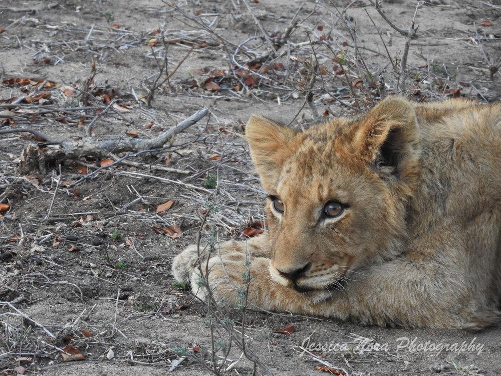 LionWM14.jpg