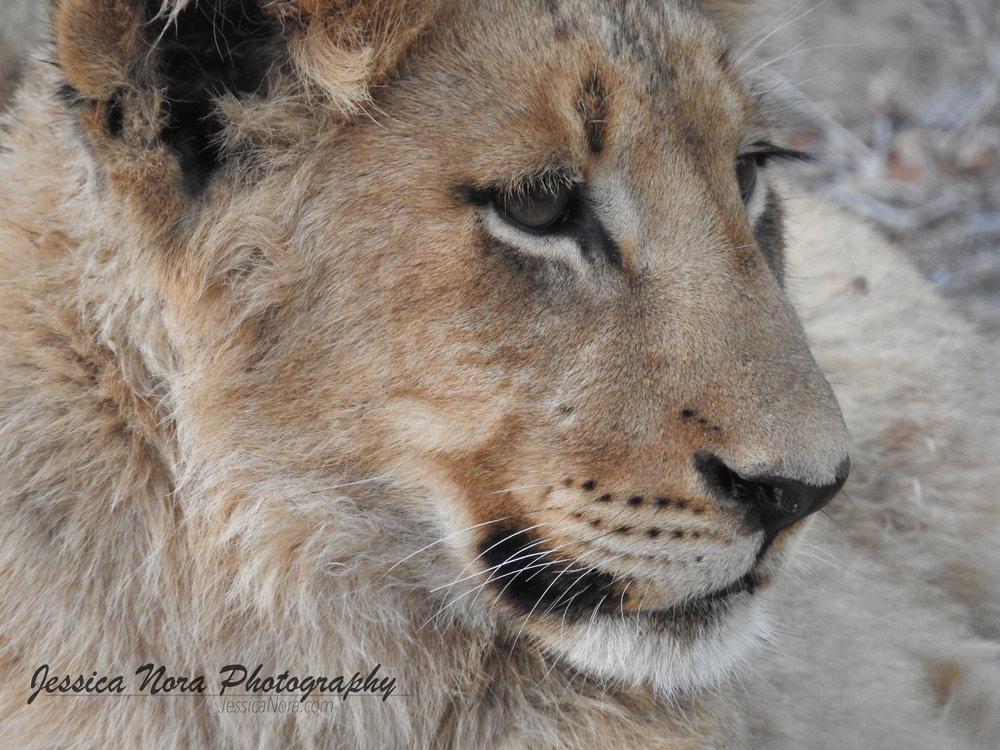 LionWM15.jpg
