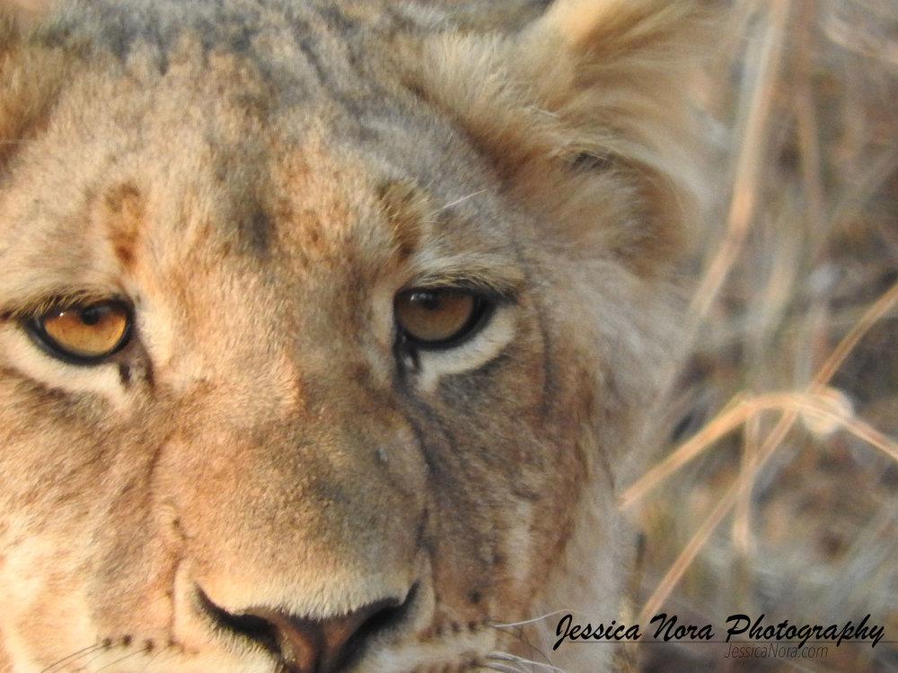 LionWM19.jpg