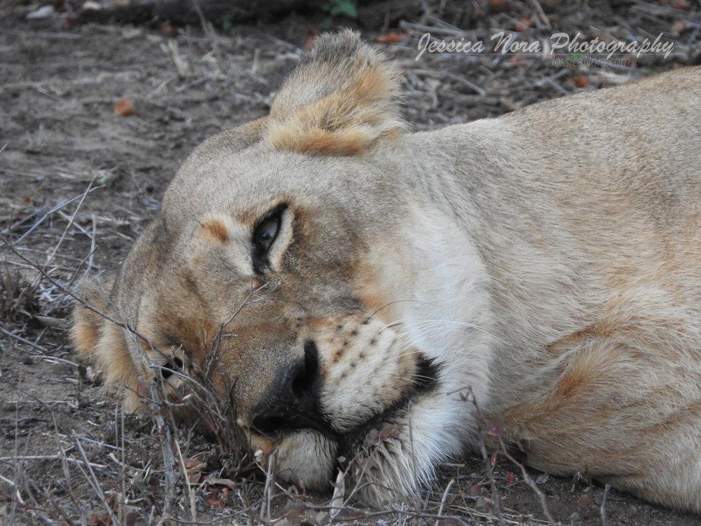 LionWM18.jpg