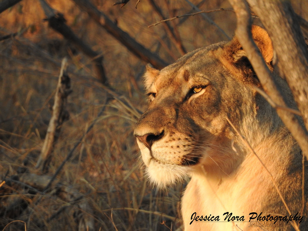 LionWM20.jpg