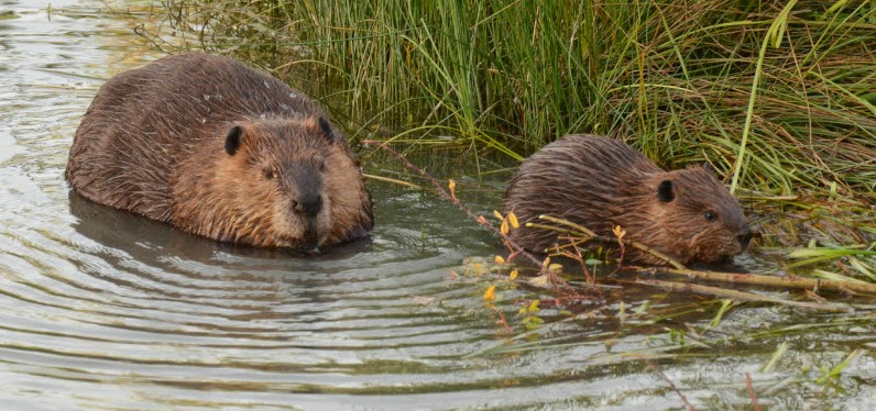 Here's a mom and baby beaver being the best.