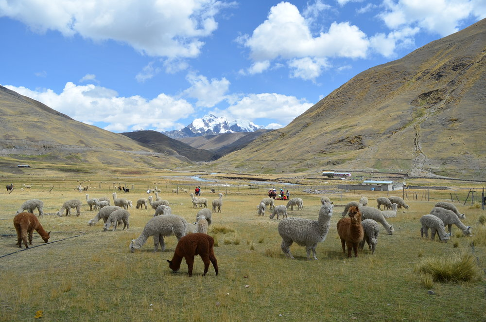 In the Peruvian Andes, alpacas have been domesticated for thousands of years.