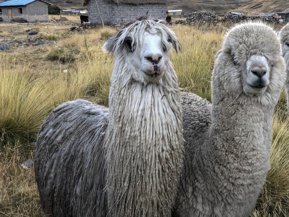 There are two breeds of alpaca; the Suri alpaca and the Huacaya alpaca.