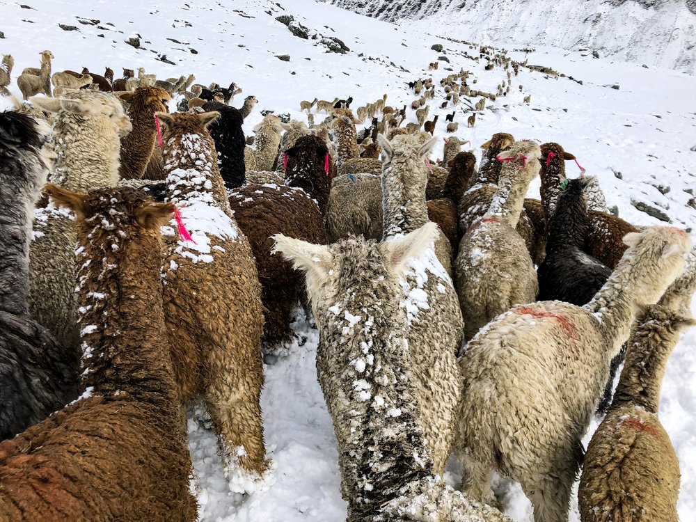 Alpacas come in 22 natural colors, with more than 300 shades.
