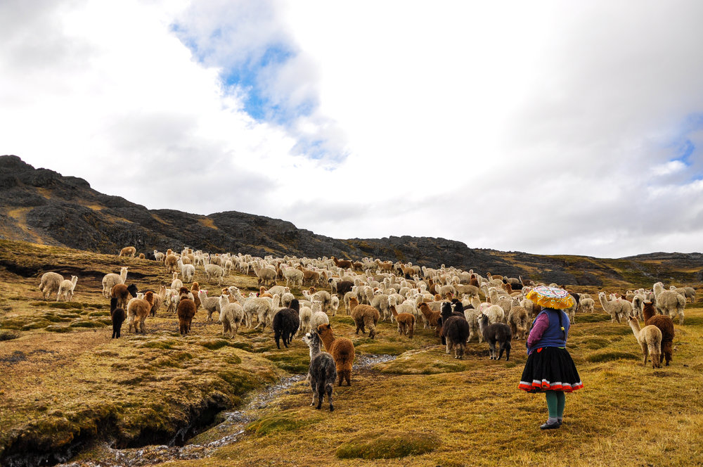Each family shares the responsibility of caring for the alpacas.