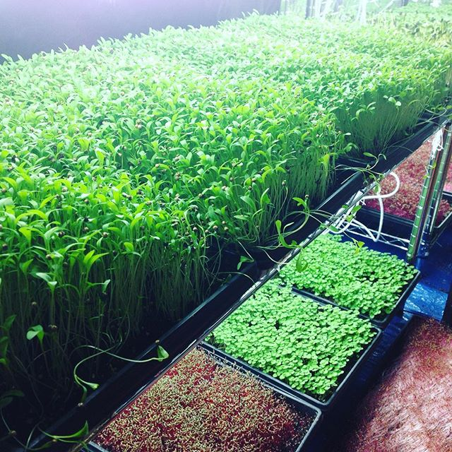Not too much happening in the fields these days, but the microgreens are killing it! We'll be partnering up with the Bradford Store on  highway 73 and you'll be able to purchase them all week long. Stay tuned!