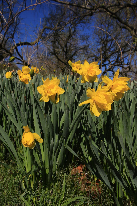 - Daffodil