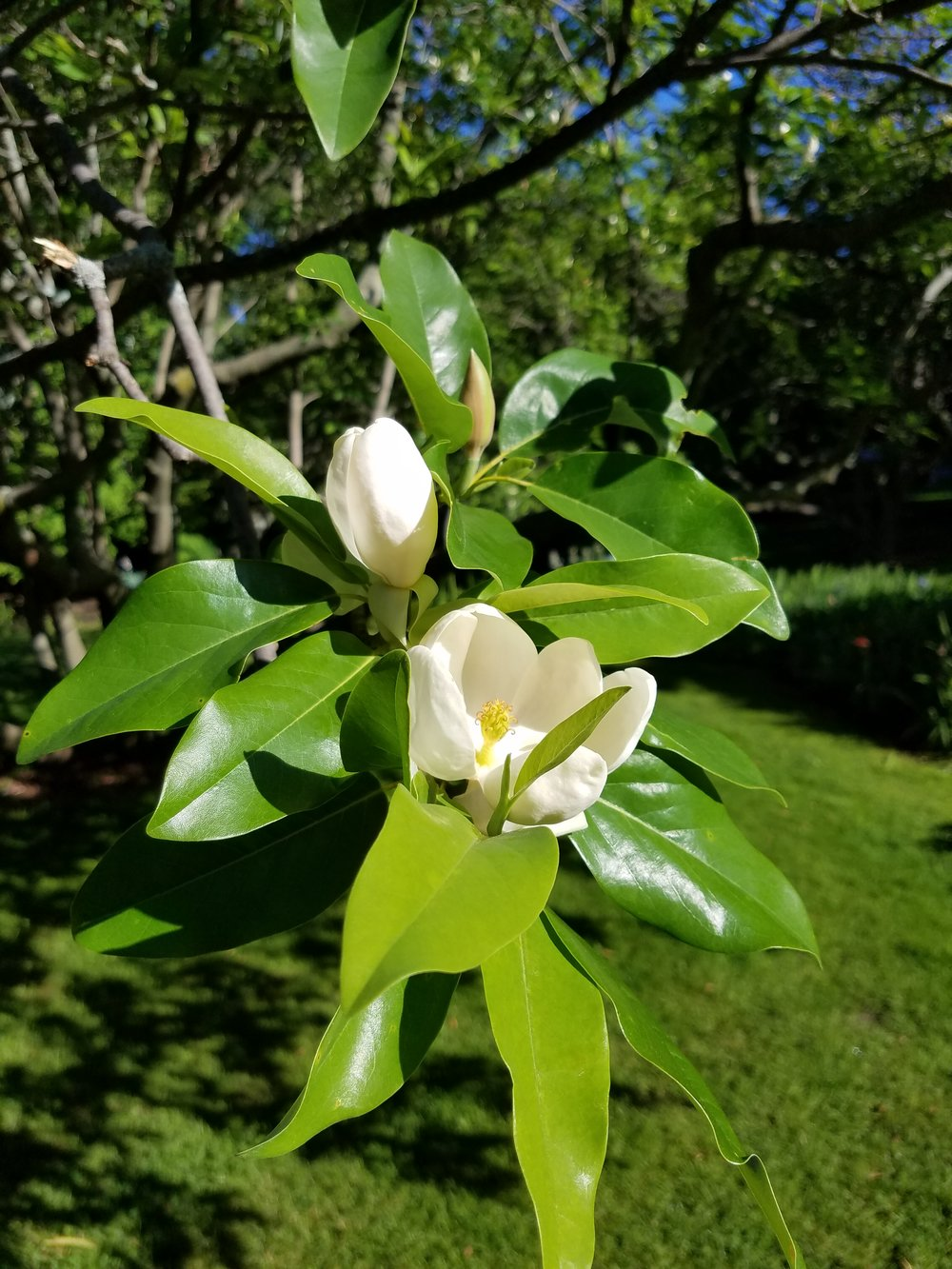 SweetBay magnolia_MAG 6_24.jpg
