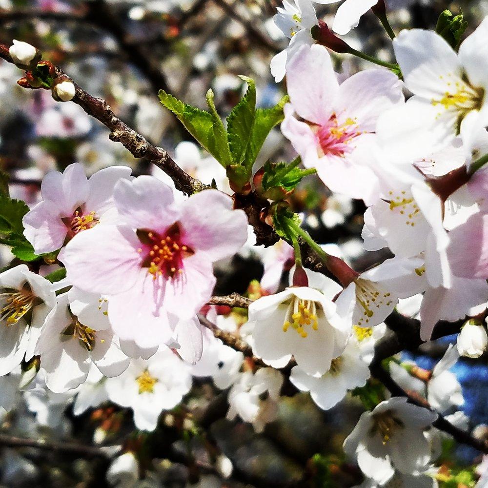 Cherry blossom middle.jpg