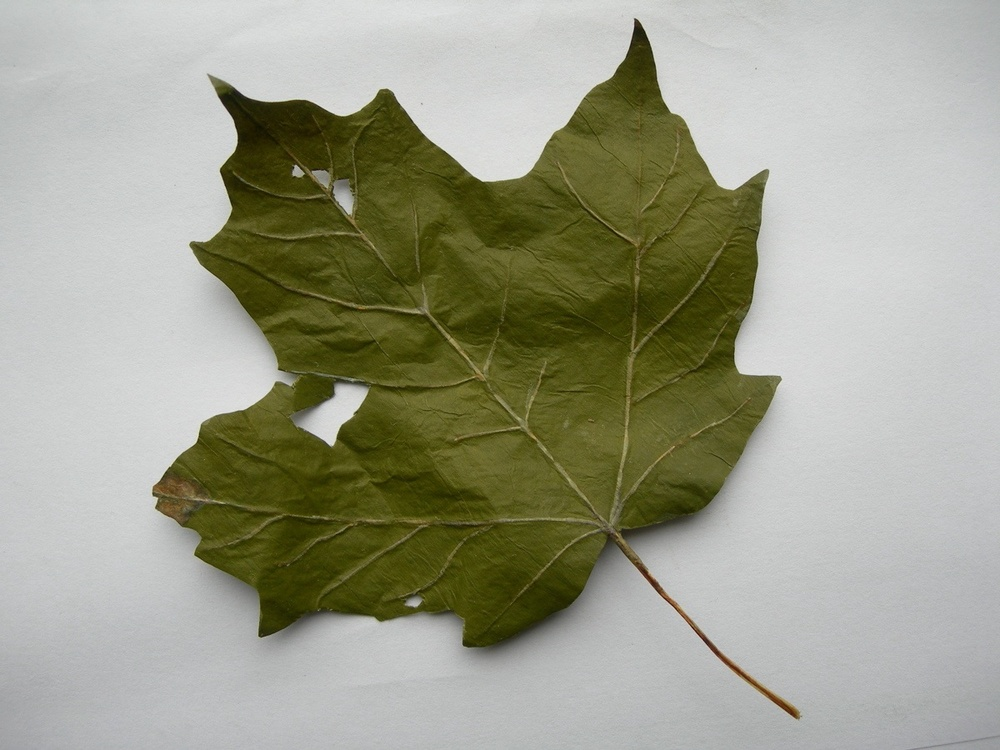 maple leaf, 2006