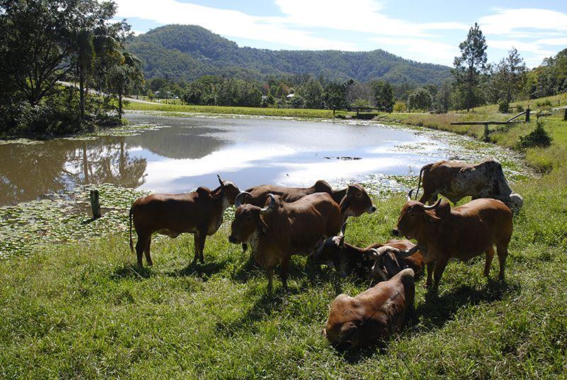 Krishna-Village---Cows-at-the-Lake.jpg